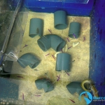 Pseudochromis_fridmani1