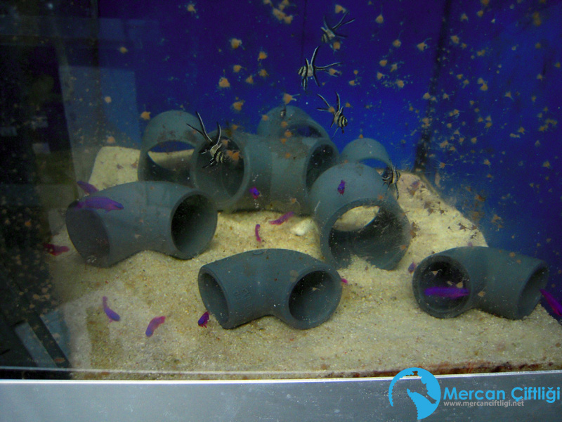 Pseudochromis_fridmani2